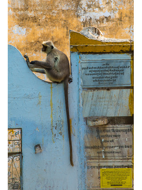 Long Tailed Monkey, Pushkar